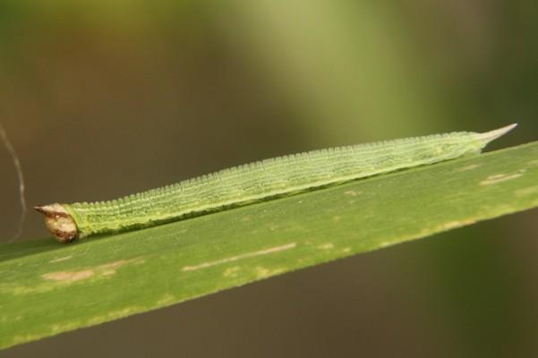 hellokitty- Caterpillar (5)