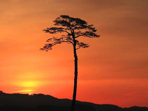 miracle-pine