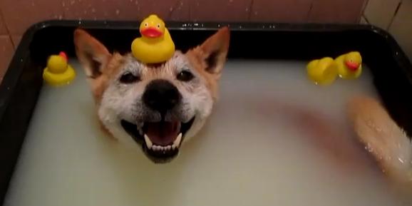 Shiba Inu in the Bath