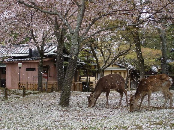 13. Nara Park (Nara City, Nara Prefecture)