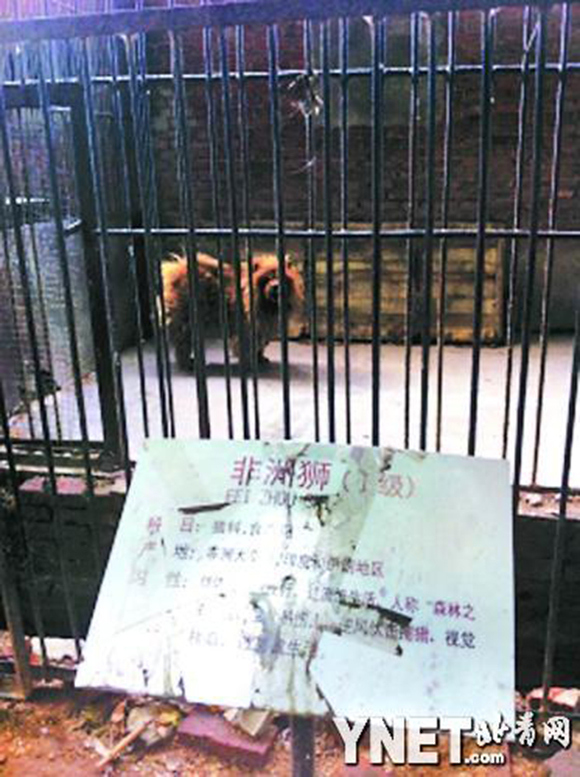 """Nice try! Zoo in China puts a """"lion"""" on display, visitor realizes it's actually a dog1"""