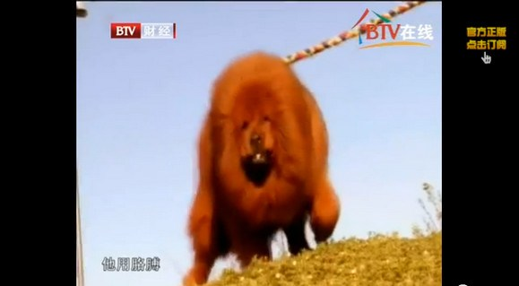 """Nice try! Zoo in China puts a """"lion"""" on display, visitor realizes it's actually a dog4"""