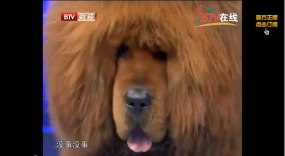 """Nice try! Zoo in China puts a """"lion"""" on display, visitor realizes it's actually a dog5"""