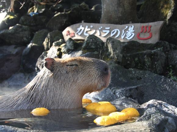 Capybara citrus 1