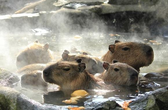 Capybara citrus 3