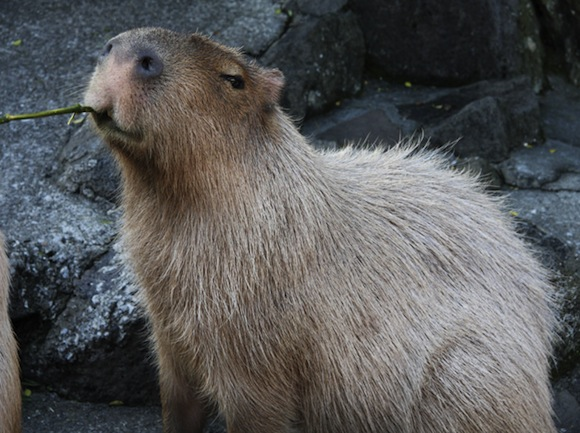 Capybara family dad Rai