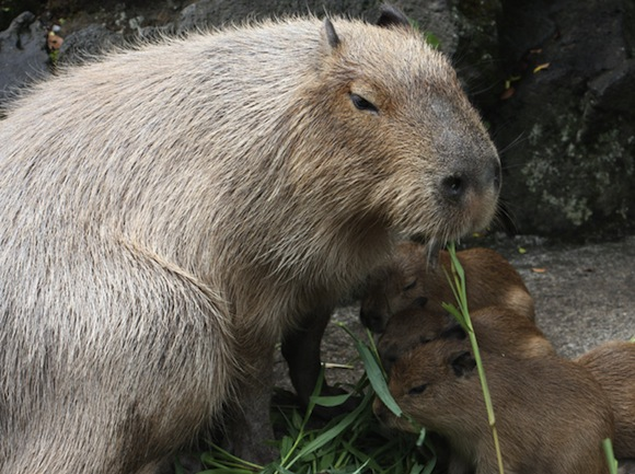 Capybara family mom Ikura