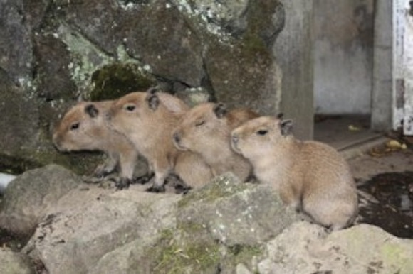 Capybara Nov babies group
