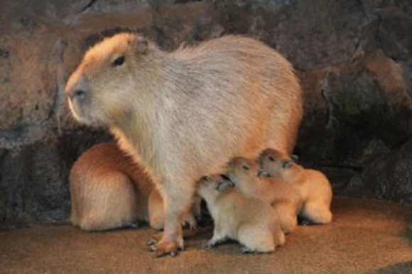 Capybara Nov babies nursing