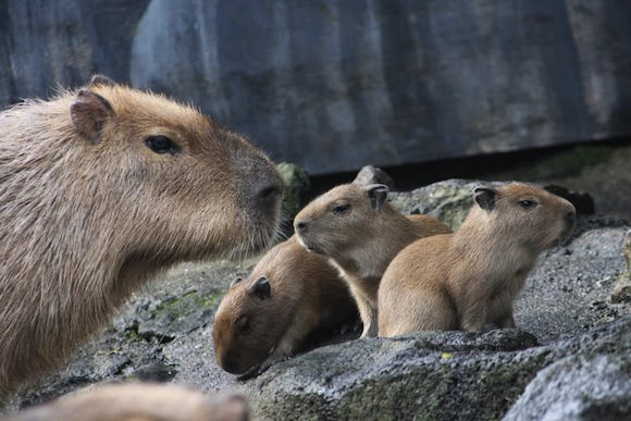 Capybara Nov babies Press Release