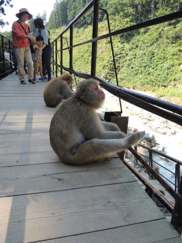 Jigokudani monkey (1)