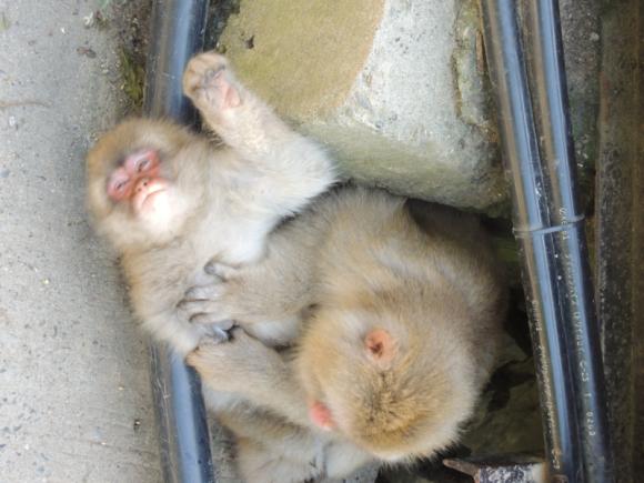 Jigokudani monkey (13)