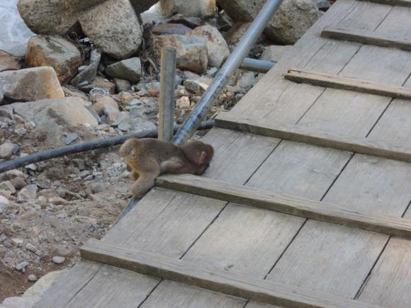 Jigokudani monkey (17)