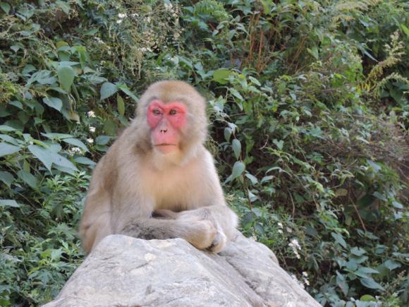 Jigokudani monkey (19)