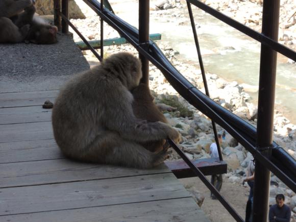 Jigokudani monkey (21)