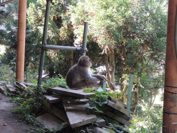 Jigokudani monkey (22)