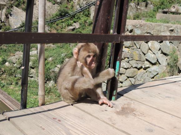 Jigokudani monkey (7)