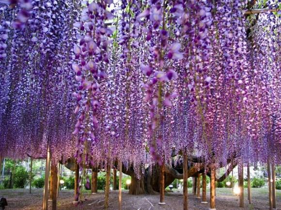 Kawachi Fuji Garden10