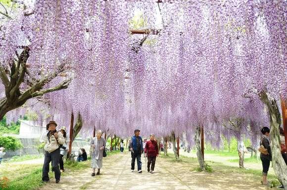 Kawachi Fuji Garden11