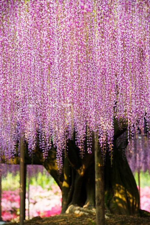 Kawachi Fuji Garden12