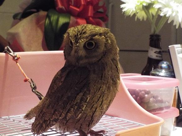 owls (27)