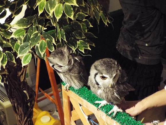owls (47)