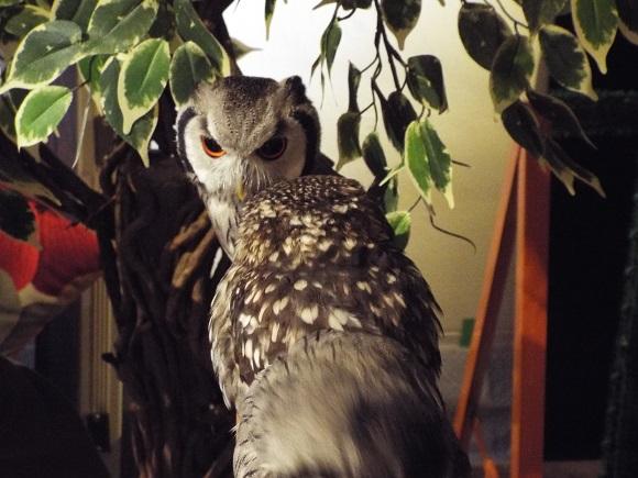 owls (8)