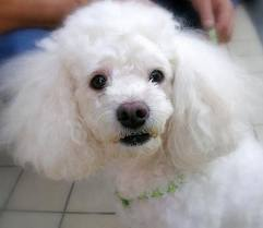 2) Toy Poodle