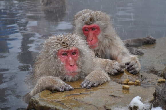 20140213Snow_Monkeys,_Nagano,_Japan
