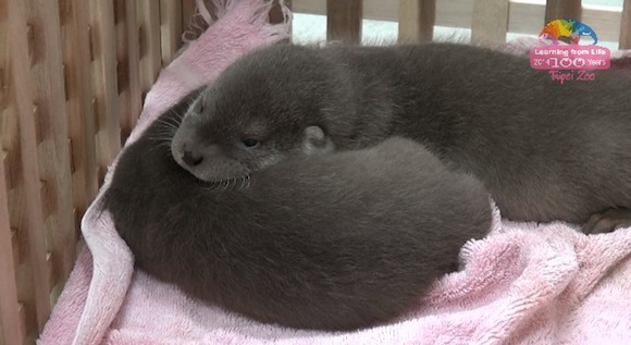 Otter 0-1