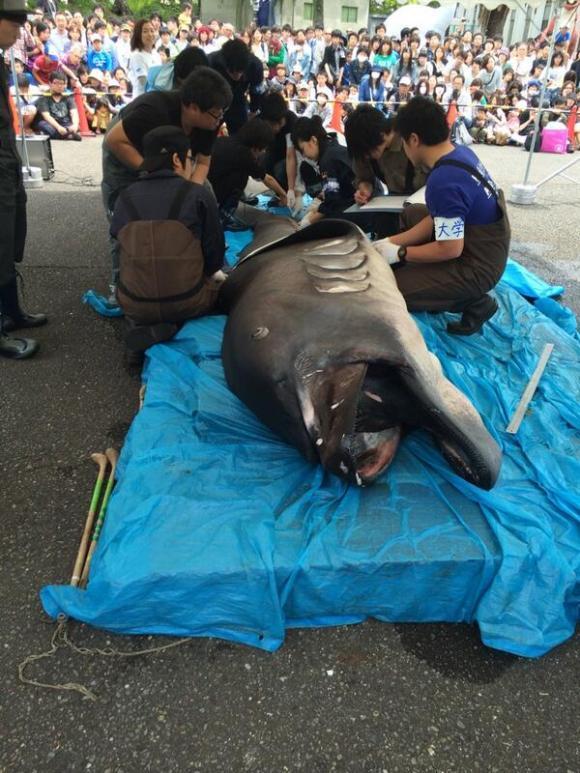 2014.05.09 megamouth aruaru