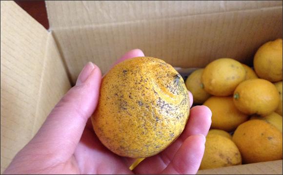 lemon04