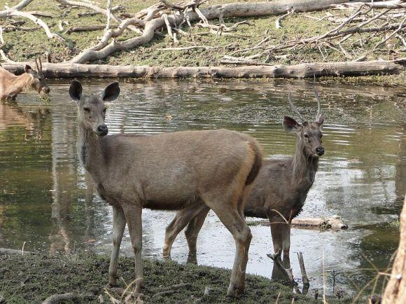 800px-Sambar_deers