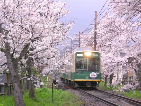 Kyoto Keifuku train line, cherry blossom sakura tunnel, Arashiyama 京都京福電車 桜