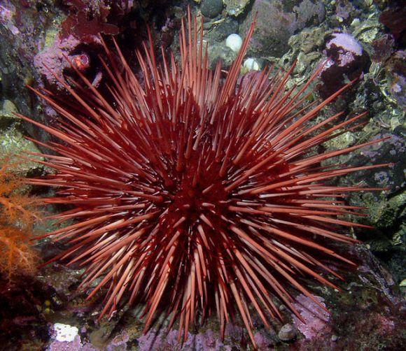 2014.07.22 sea urchin iiii