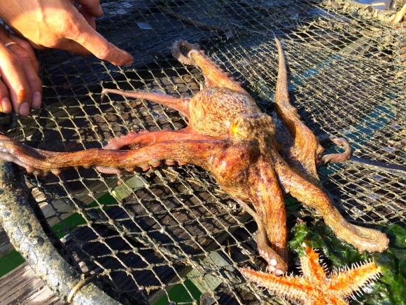 live octopus
