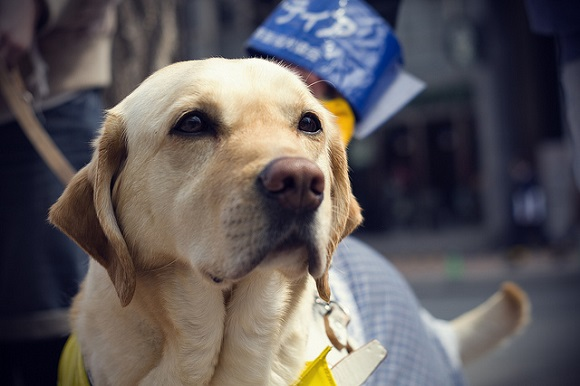guide dog 1