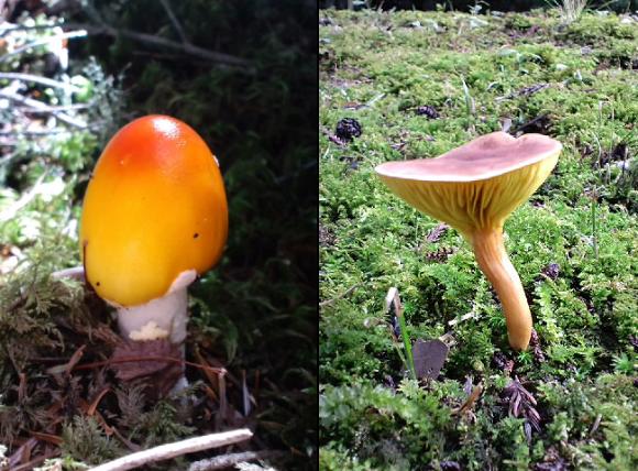 Shibuya Takuto mushroom bonsai, beni-tengutake, benitengutake, Amanita muscaria
