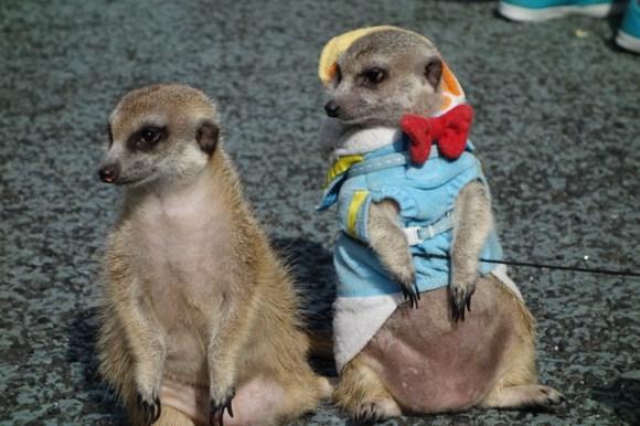 Meerkats13