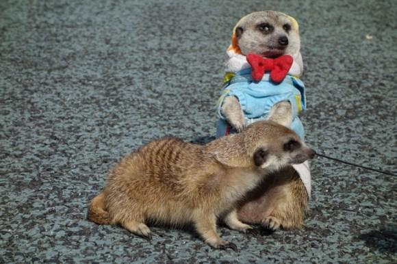 Meerkats29