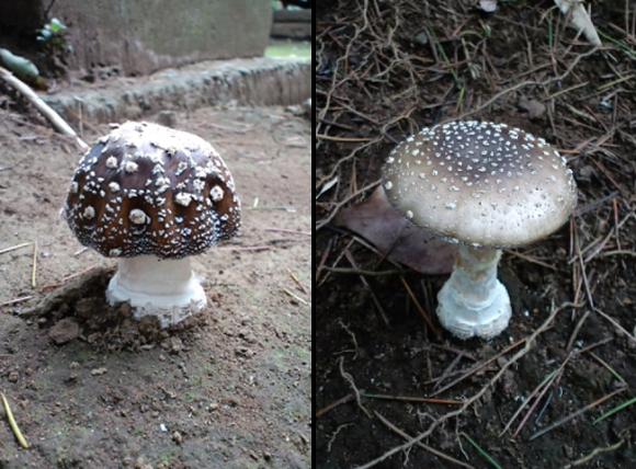 Takuto Shibuya mushroom bonsai, tengutake, Amanita pantherina
