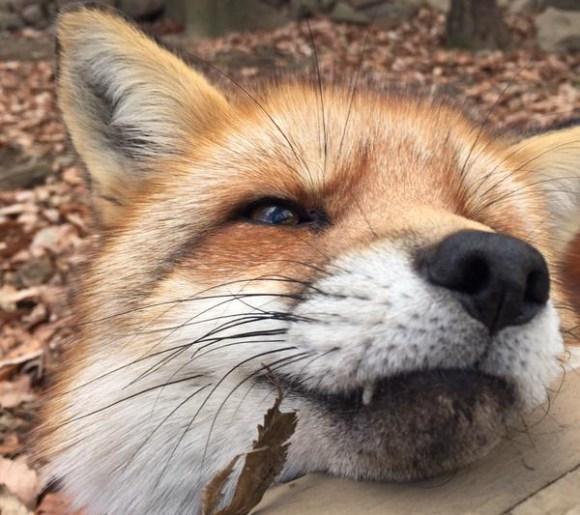 foxtop