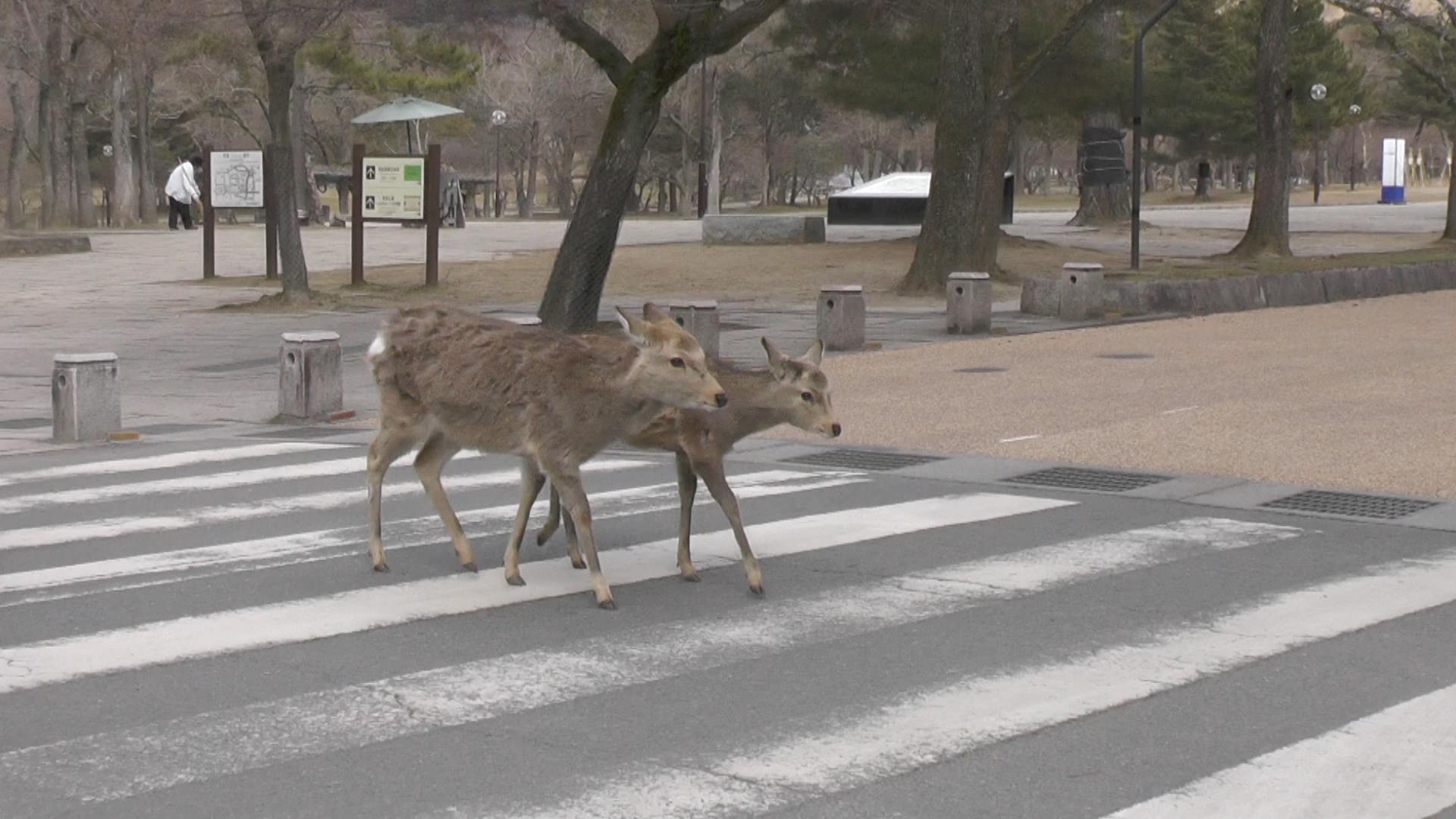 NW_Deer_in_Japan_are_30_07