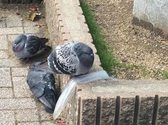 pigeon03