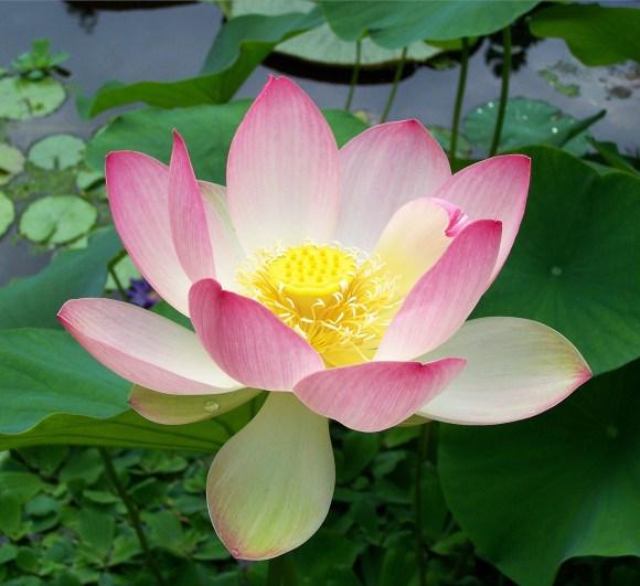 Sacred_lotus_Nelumbo_nucifera