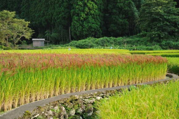 Red_Rice_Paddy_field_in_Japan_006