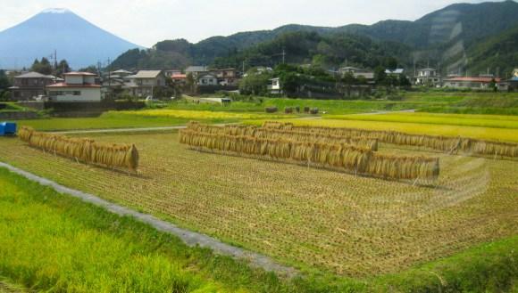 437 Fujikyu Line Crop