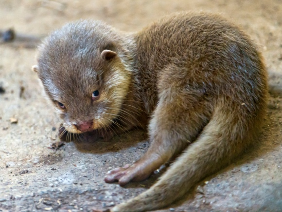 cutest_otter_pup___wallpapers_free_download_