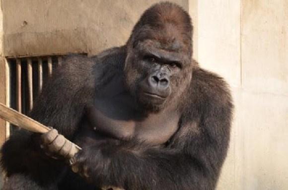 gorilla 7