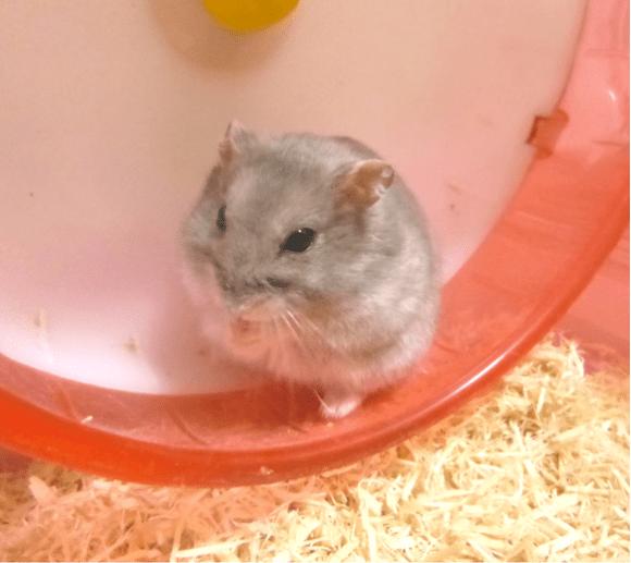 hamster,jpg